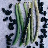 Black Valentine Bush Beans BN74-50_Base