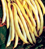 Cherokee Wax Bush Beans BN69-50_Base