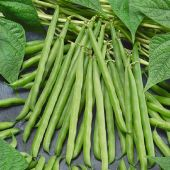 Greencrop Bush Beans BN58-50_Base