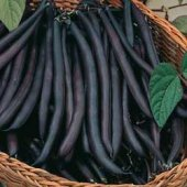 Purple Queen Bush Beans BN10-50_Base