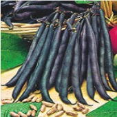 Royal Burgundy Bush Beans BN14-50_Base