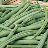 Tendergreen Improved Bush Beans BN46-50_Base
