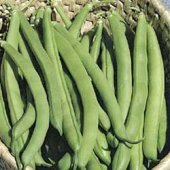Top Crop Bush Beans BN13-50_Base