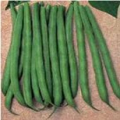 Trueblue Bush Beans PVP BN98-50_Base