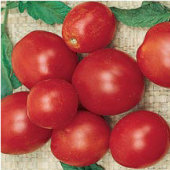 Alaskan Fancy Tomato TM544-20_Base