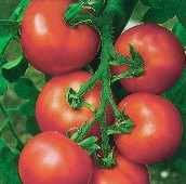 Alicante Tomato TM793-10_Base