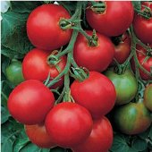 Amish Salad Tomato TM144-20_Base