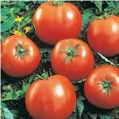 Ball's Beefsteak Tomato TM237-20_Base