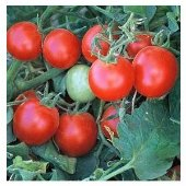 Baxter S Early Bush Tomato Pk 20