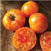 Beauty King Tomato TM797-10_Base