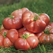 Big Brandy Tomato TM786-10_Base