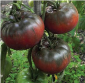 Black from Tula Tomato TM13-20_Base