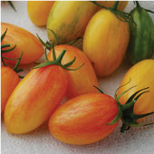Blush Tomato TM877-20_Base