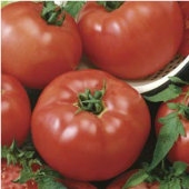 Brandymaster Tomato (Red) TM570-20_Base