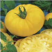 Brandymaster Tomato (Yellow) TM571-20