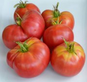 Burgundy Traveler Tomato TM491-20_Base