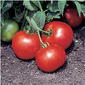 Bush Beefsteak Tomato TM538-20_Base