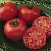 Bush Champion Tomato  TM309-10