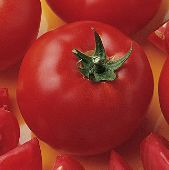 Bush Early Girl II Tomato TM582-20_Base