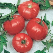 Brandywine Tomato (Red Potato Leaf) TM698-20_Base