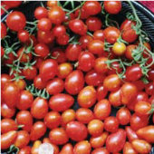 Cabernet Tomato TM227-10_Base