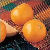 Carolina Gold Tomato TM29-20_Base