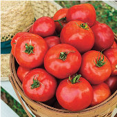 Celebration Tomato TM751-20_Base