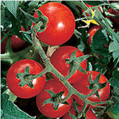Chadwick's Cherry Tomato TM379-20_Base