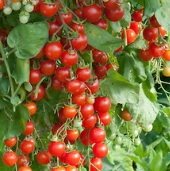 Cherry Cascade Tomato TM861-10_Base