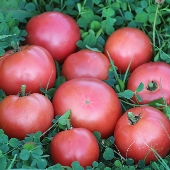 Clear Pink Early Tomato TM785-10_Base