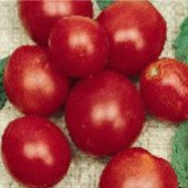 Crimson Fancy Tomato TM607-10_Base