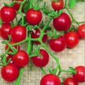 Currant Tomato (Red) TM39-20_Base