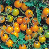 Currant Tomato (Yellow) TM40-20_Base