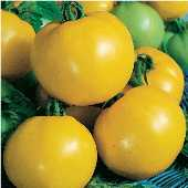 Dixie Golden Giant Tomato TM178-20_Base