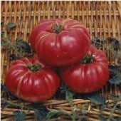 Dutchman Tomato TM434-20