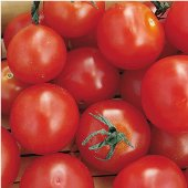 Early Salad Tomato TM773-10_Base