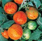 Elberta Peach Tomato TM412-10_Base