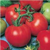 Fireworks Tomato TM609-10_Base
