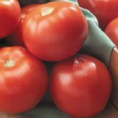 Florida 47 Tomato TM486-10_Base