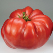 German Giant Tomato TM404-20_Base