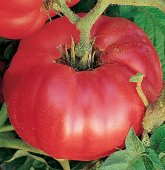 German Johnson Tomato (Regular Leaf) TM48-20_Base