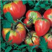 Giant Oxheart Tomato TM51-20_Base