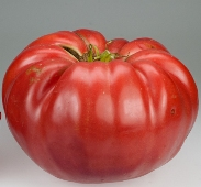 Giant Belgium Tomato TM50-20_Base