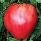 Giantissmo Oxheart Tomato TM52-20_Base