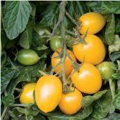 Golden Gem Tomato TM736-10_Base