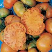 Golden Ponderosa Tomato TM533-20_Base