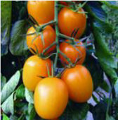 Golden Rave Tomato TM525-10_Base