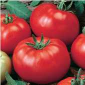Grandaddy Tomato TM506-20_Base