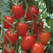 Grape Tomato TM322-20_Base