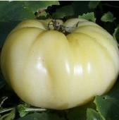 Great White Beefsteak Tomato TM55-20_Base